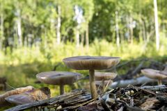 Champignons sauvages au bord de la forêt Image stock