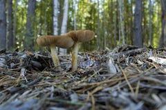 Champignons sauvages au bord de la forêt Images stock