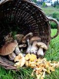 Champignons sauvages : Boletus d'und de Chantarelle images stock