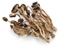 Champignons secs d'arbre de thé de saule images libres de droits