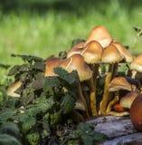 Champignons sur l'herbe verte Image libre de droits
