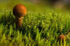 Champignons sur le plancher de forêt Images libres de droits