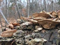 Champignons sur un tronçon d'arbre, plan rapproché Nature d'automne, forêt Image libre de droits
