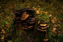 Champignons sur un vieil arbre images stock