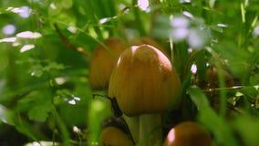 Champignons toxiques dans la forêt photo stock