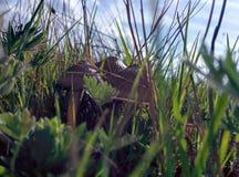 champinjon Royaltyfri Fotografi