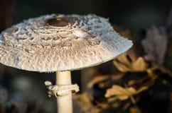 Champinjon av hösten Arkivbild