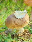 Champinjon (edulis Boletus Royaltyfri Bild