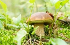 Champinjon (edulis Boletus) i sommarskog. Royaltyfri Foto