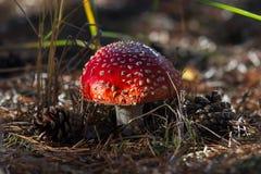 Champinjon för giftligt gift för Amanita röd i skogslutet upp stort vatten för fotografi för makro för droppgreenleaf arkivbilder