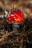 Champinjon för giftligt gift för Amanita röd i skogslutet upp stort vatten för fotografi för makro för droppgreenleaf arkivfoto
