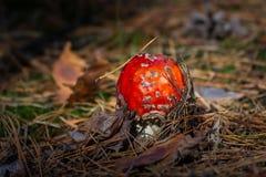 Champinjon för giftligt gift för Amanita röd i skogslutet upp stort vatten för fotografi för makro för droppgreenleaf royaltyfri foto