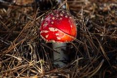 Champinjon för giftligt gift för Amanita röd i skogslutet upp stort vatten för fotografi för makro för droppgreenleaf royaltyfria foton