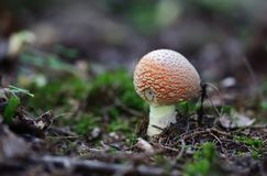 champinjon för muscaria för amanitahöstfara Flugsvamp Moss royaltyfri foto