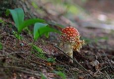 champinjon för muscaria för amanitahöstfara Flugsvamp Moss fotografering för bildbyråer