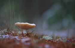 champinjon för muscaria för amanitahöstfara Flugsvamp snow royaltyfri bild