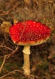 champinjon för muscaria för agaricamanitafluga Royaltyfri Bild