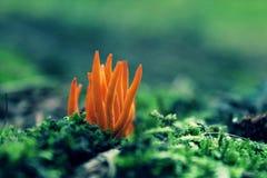 Champinjon för orange guling Fotografering för Bildbyråer