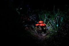champinjon Glödande champinjoner för fantasi i mörk skognärbild för gåta Amanitamuscaria, flugsvamp i mossa i skogmagimushroo Arkivfoto