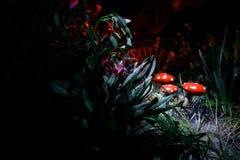 champinjon Glödande champinjoner för fantasi i mörk skognärbild för gåta Amanitamuscaria, flugsvamp i mossa i skogmagimushroo Royaltyfri Fotografi