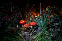 champinjon Glödande champinjoner för fantasi i mörk skognärbild för gåta Amanitamuscaria, flugsvamp i mossa i skogmagimushroo Royaltyfria Foton