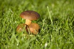 Champinjon i gräset Arkivfoton