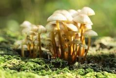 Champinjon i höstskogen Arkivbild