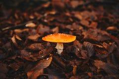 Champinjon i höstskogen royaltyfri foto