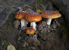 Champinjon i höstskogen Arkivfoto