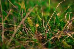 Champinjon i mossa i skog Royaltyfri Fotografi
