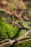 Champinjon i mossa i skog Arkivfoto