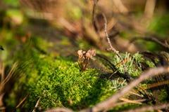 Champinjon i mossa i skog Royaltyfria Bilder