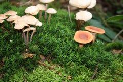 Champinjon i skog Royaltyfri Bild