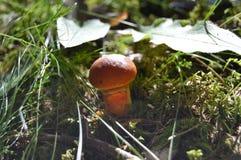 Champinjon i skog Fotografering för Bildbyråer