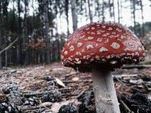 Champinjon i skog Arkivfoton
