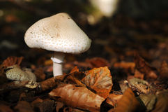 Champinjon i skogen Arkivfoton