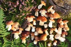 Champinjon i skogen i Belgien Arkivfoto