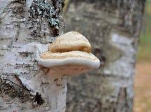 Champinjon natur, skog, svamp, träd, höst, champinjoner, svampar, mat, brunt, skäll, makro, giftsvamp, växt, mossa, ätligt som är arkivfoton