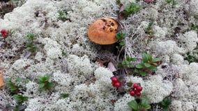 Champinjon och bär i den nordliga höstskogen Royaltyfria Bilder