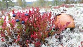 Champinjon och bär i mossa i den nordliga höstskogen Royaltyfria Bilder