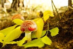 Champinjon- och yellowleaves Fotografering för Bildbyråer