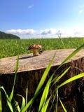 Champinjon på en stubbe i fältet fotografering för bildbyråer