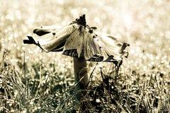 Champinjon på gräs med dagg Tonad entonighet med defocused daggig bakgrund Arkivbild