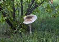 Champinjon på skogbakgrunden. royaltyfria foton