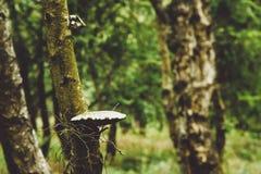 Champinjon på tree royaltyfria bilder