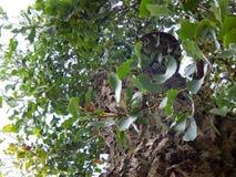 champinjon på treen Fotografering för Bildbyråer