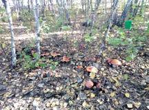Champinjon skog, höst, flugsvamp, natur, träd, gräs royaltyfri bild