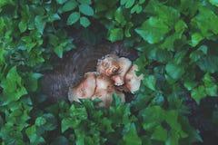 Champinjon som är fullvuxen på stubbe i en regnig skog arkivfoton