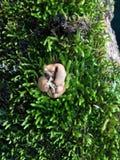 Champinjon som växer i mossa Royaltyfri Foto