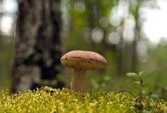 Champinjon som växer i skog Arkivfoto